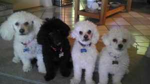 carols-4-poodles-small-pixels